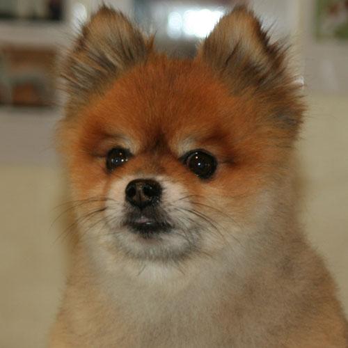 Pomeranian-hoved-efter