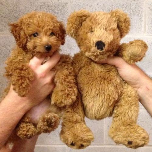 Bamse? Eller hund? I Hunde-Salonen kan din hund få en bamseklip