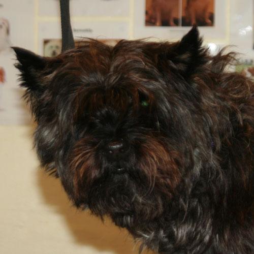 Cairn Terrier før trim i Hunde-salonen