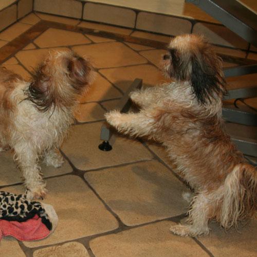 Shih Tzu leger på gulv efter bad