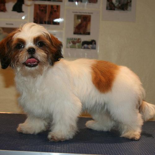 Shih Tzu-hvalp i Hunde-salonen - efter klip