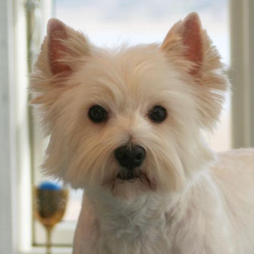 skal yorkshire terrier