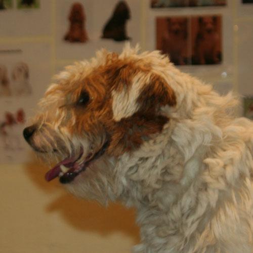 Parson Russell Terrier-hoved før trim