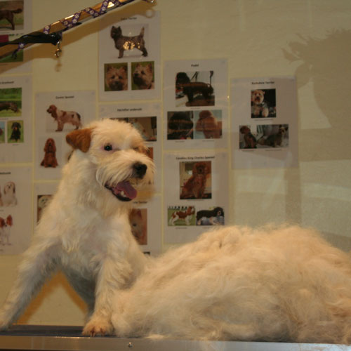 Parson Russell Terrier med pels efter trim