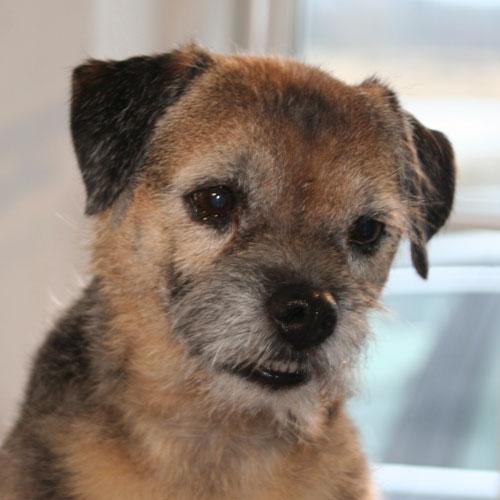 Border Terrier efter trim