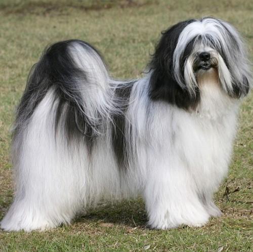 Tibetansk Terrier