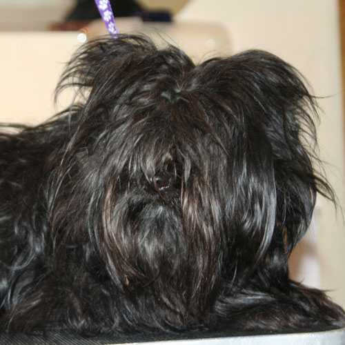 Hvilke hunde skal klippes? Hvor ofte bør de klippes?