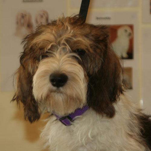 Petit Basset Griffon Vendeen-hvalpe-hoved før trim