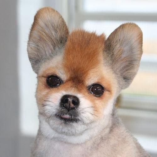 Pomeranian-hoved med hanekam
