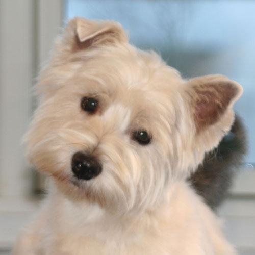 Westie,-Dina-hoved-efter-trim
