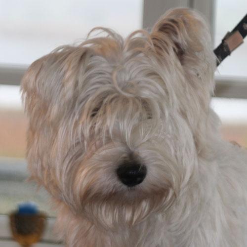 Westie,-Dina-hoved-før-trim