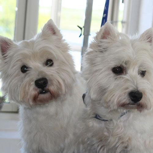 Westie,-Freja&Luna-hoved-efter-trim