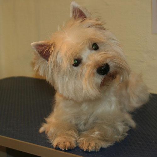 West White Highland Terrier efter trim