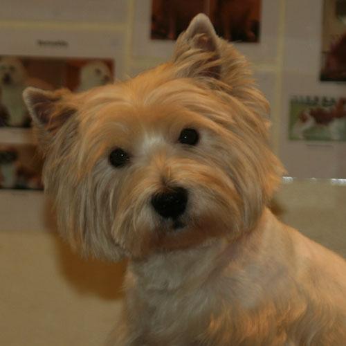 Westie-hoved efter klip/trim