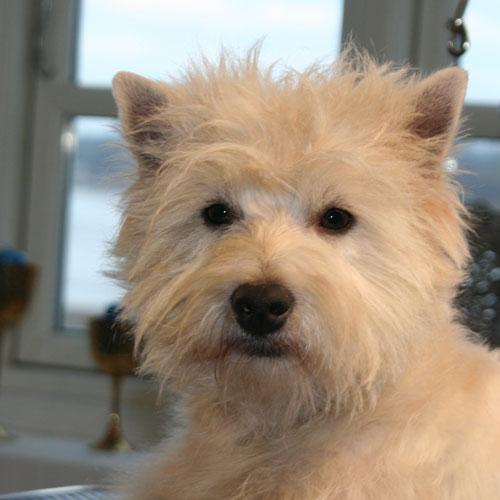 Westie-hoved efter trim