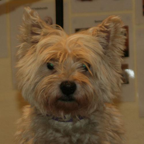 Westie-hoved før trim