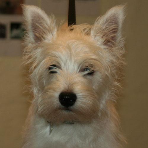 Westie-hvalpe-hoved før trim