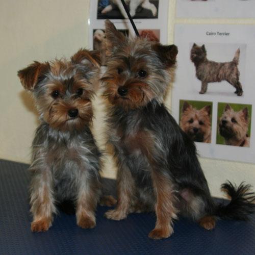 Yorkshire terrier-hvalpe efter klip