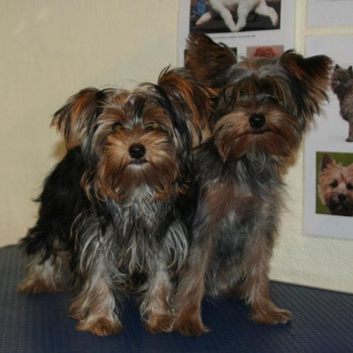 Yorkshire terrier-hvalpe før klip