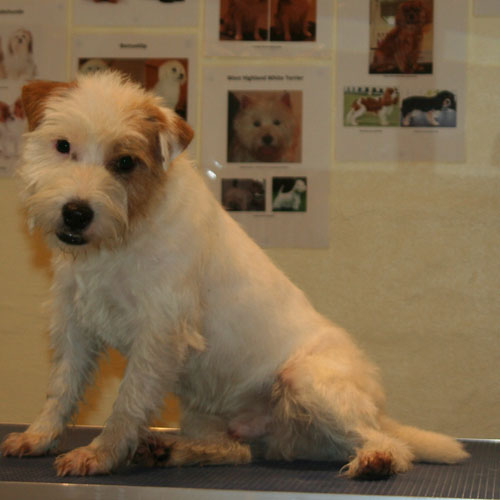 Parson Russell Terrier efter trim