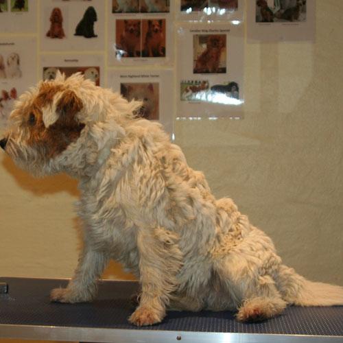 Parson Russell Terrier før trim
